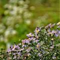 友禅菊の花々