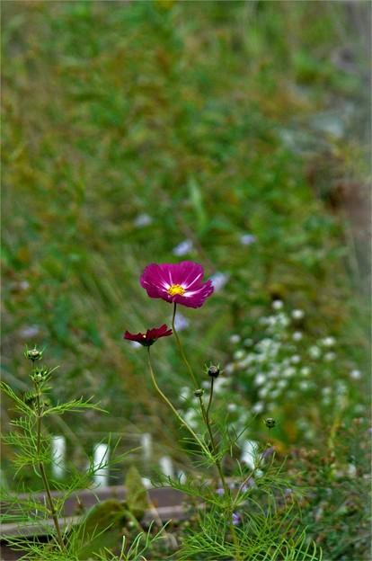 赤紫のコスモス