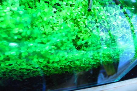 しつこい藍藻
