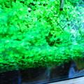 写真: しつこい藍藻