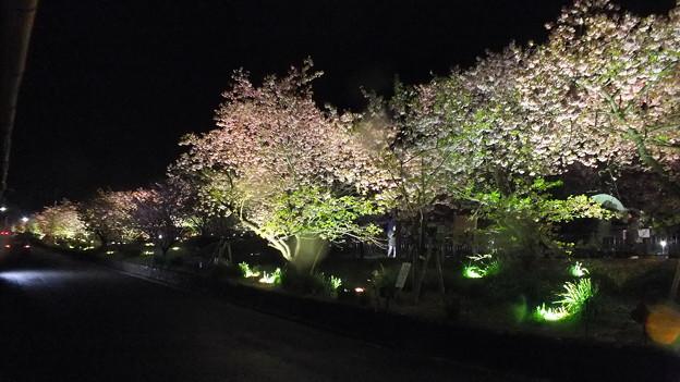 河津 夜桜 2015