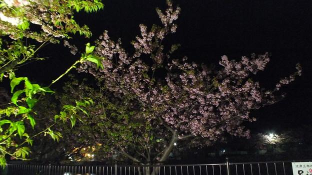 河津 夜桜 2015 2