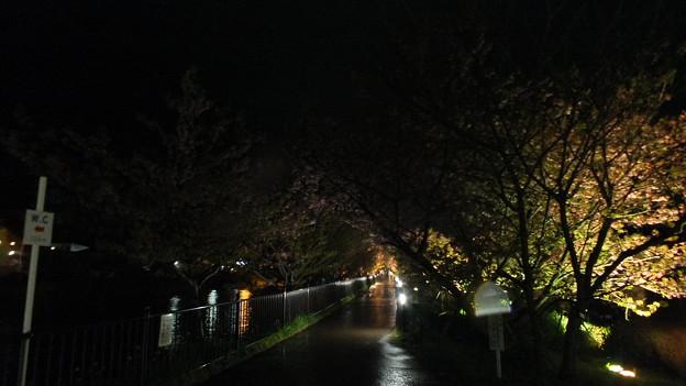河津 夜桜 2015 3