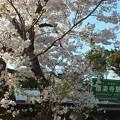 極楽寺駅前の桜