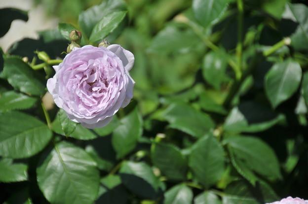 バラに紫色あったとは。。。