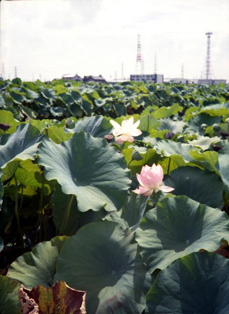 Photos: れんこん畑