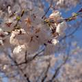 写真: 桜咲いた