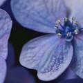 写真: アジサイの花