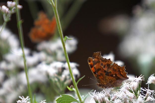 庭の蝶 2