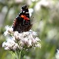 Photos: 庭の蝶 4
