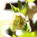 ~春告花~