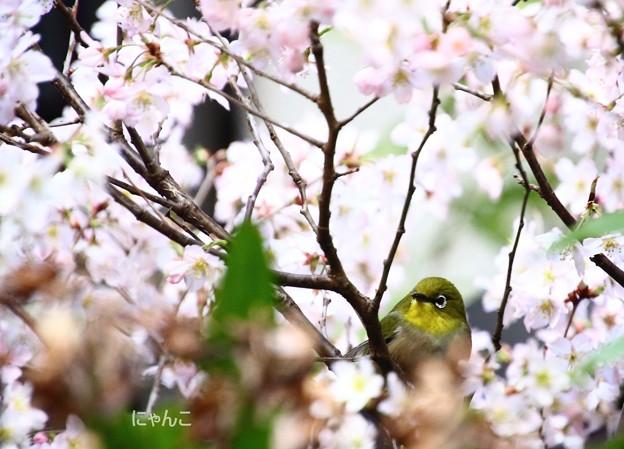 Photos: ~桜×メジロ~