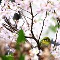 写真: ~桜×メジロ~