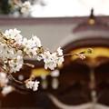 写真: ~桜神社~