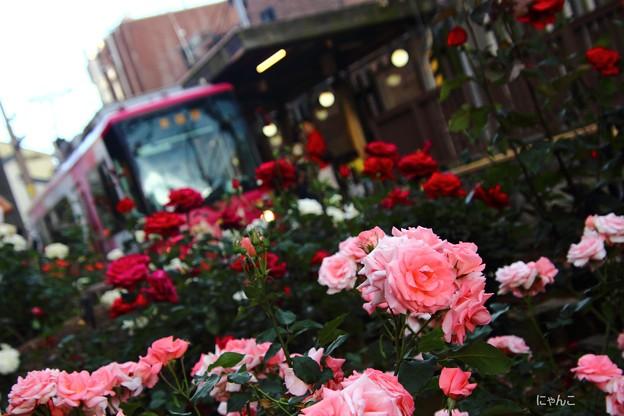 Photos: ~薔薇電車~