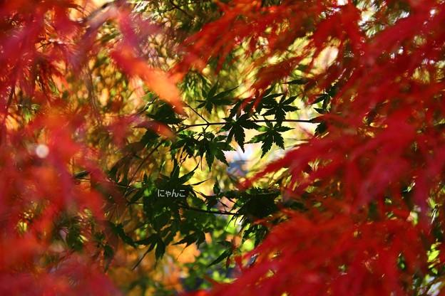 ~紅葉の向こうの青椛~