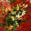 写真: ~紅葉の向こうの青椛~