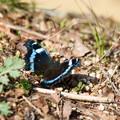 写真: 青い蝶