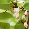 写真: 遅咲きの桜