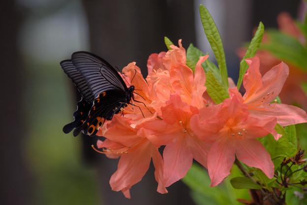 恒例の黒い蝶