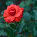 Roses in May