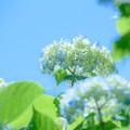写真: 青空と紫陽花