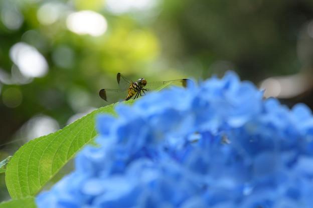写真: 青いカーテン