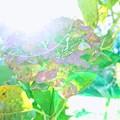 Photos: 神楽月の幻(ハイキー風)