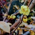 Photos: 咲いた ちょっぴり 春の香