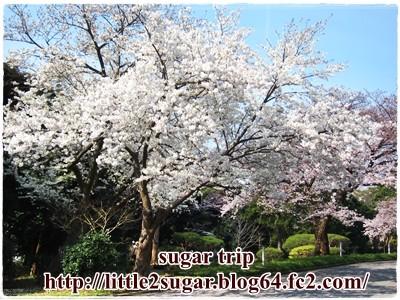 2017千葉大の桜2