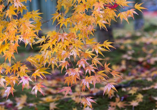 常寂光寺 竹林の紅葉