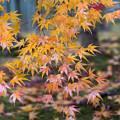 写真: 常寂光寺 竹林の紅葉