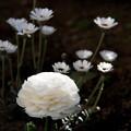 写真: 白い花たち Part2