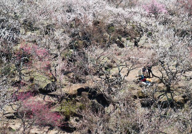 Photos: 名残の梅に包まれて