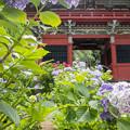 Photos: 山門と紫陽花