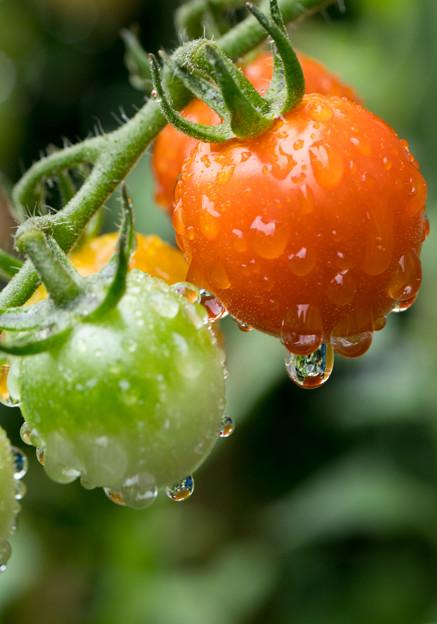 ミニトマトも成長しません