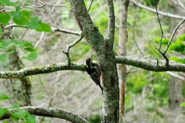 オオアカゲラ(♀)2