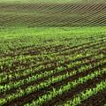 写真: トウモロコシ畑