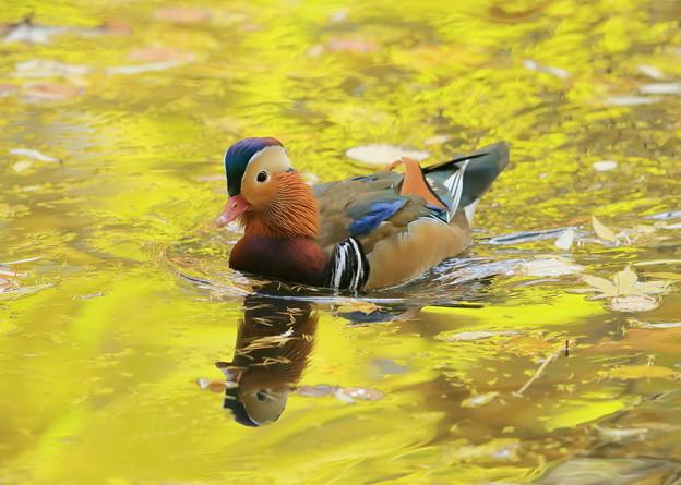 池のオシドリさん