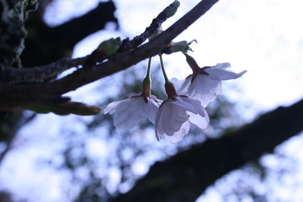 はちまんさんの桜2