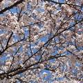 Photos: 桜 桜咲くと嬉しいI'm a japanese