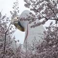 万博記念公園 桜まつり2017