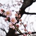 Photos: 2020梅_大阪城公園_01