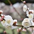 Photos: 2020梅_大阪城公園_02