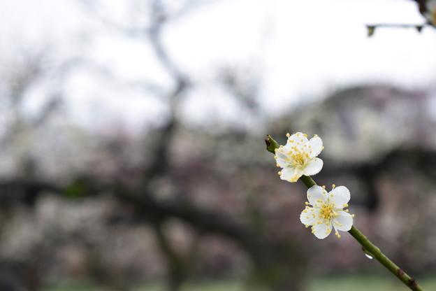 Photos: 梅2020_大阪城公園_03