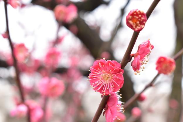 Photos: 梅2020_大阪城公園_05
