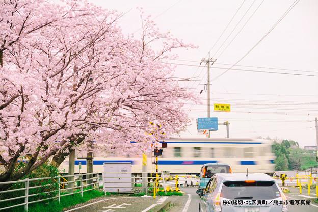 桜の踏切。