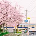 写真: 桜の踏切。