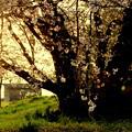 写真: 在りし日の桜