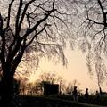 写真: 桜の樹の下で